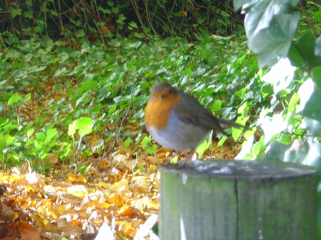 A very well fed robin!