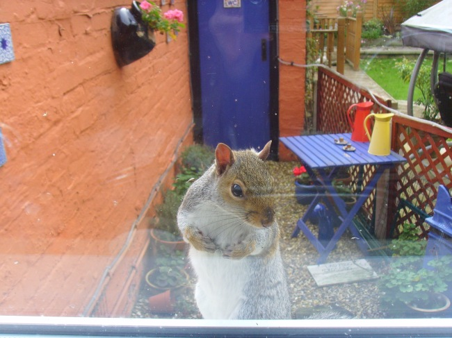 A squirrel looking in my window.  No doubt hoping for some nuts!